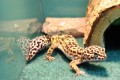 Leopard Gecko - Adult