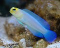 Yellow Headed Pearly Jawfish