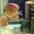 Small Discus